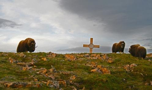 Christian-Musk-Oxen