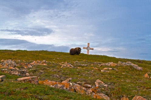 Musk-Ox-and-Cross