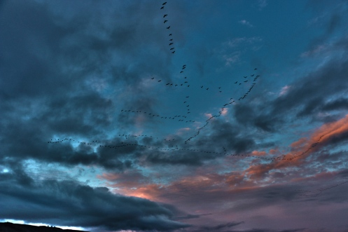 Sandhill Cranes Fill the Sky